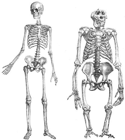 Скелет человека и обезьяны