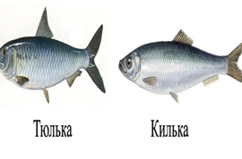 тюлька фото рыба