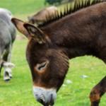 Ишак и осел — есть ли разница между ними?