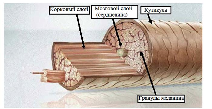 Строение человеческого волоса