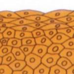 Чем отличается эпителиальная ткань от соединительной: описание и отличия
