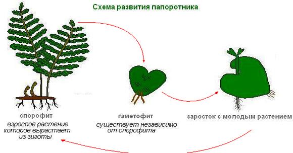 Схема развития папоротоника