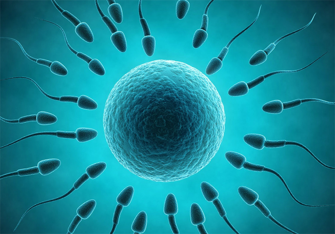 Сперматозоид и яцеклетка