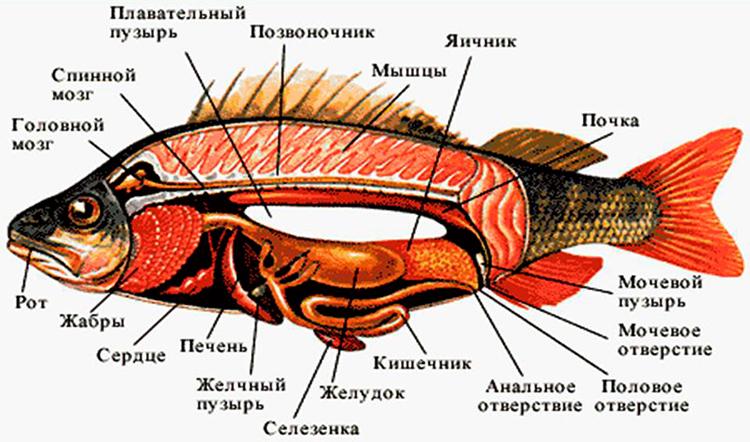 Строение костной рыбы