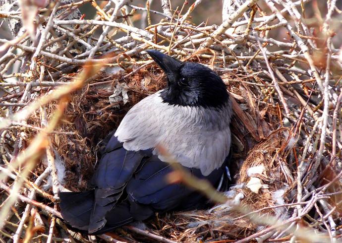 Воронье гнездо