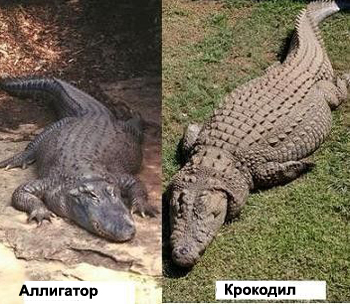 Аллигатор и крокодил(тела)
