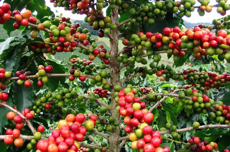 Плоды коффе