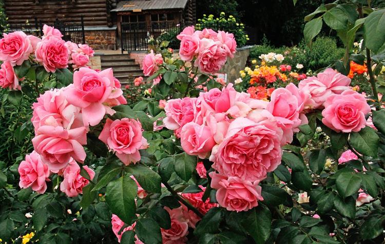 Розы флорибунда