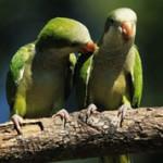 Как отличить попугая девочку от попугая мальчика