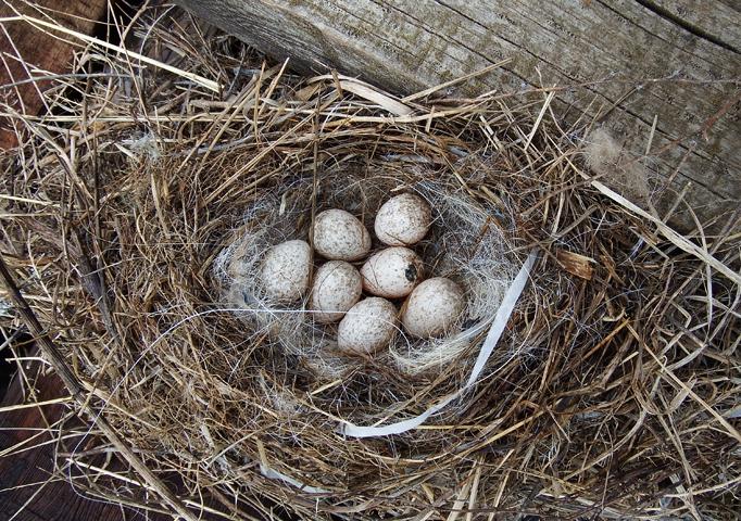 Гнездо длиннохвостой неясыти