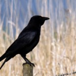 Ворон и ворона — чем они отличаются?