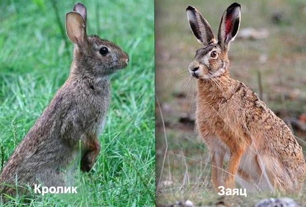 Общий вид кролика и зайца