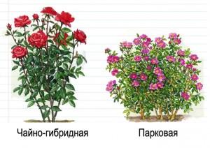 Чайно-гибридные розы и флорибунды