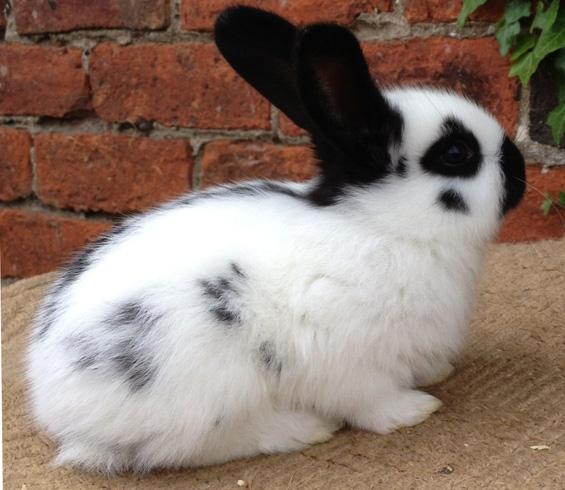 Красивый декоративный кролик