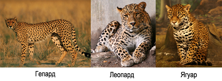 a comparison of the appearance between the jaguar and the leopard The jaguar is found in the americas and the leopard is found in asia and africa the jaguar is slightly larger than the leopard and has larger spots jaguars are also stronger than leopards a jaguar has a dot in the center of each spot and a leopard does not the leopard and the jaguar are both members of the genus panthera.