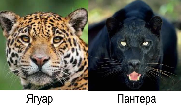 Ягуар и пантера