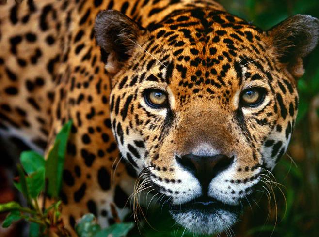 Взгляд ягуара