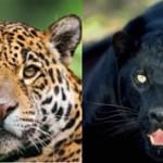 Чем ягуар отличается от пантеры: описание и отличия