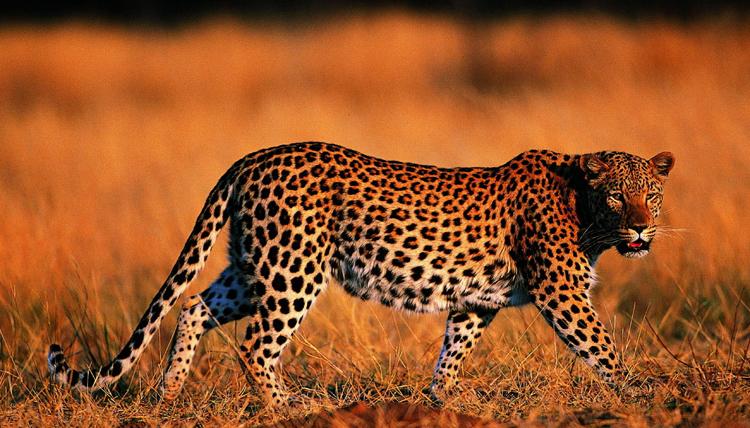 Леопард в среде обитания