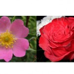 Роза и шиповник — чем они отличаются?