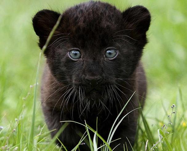 Котенок пантеры
