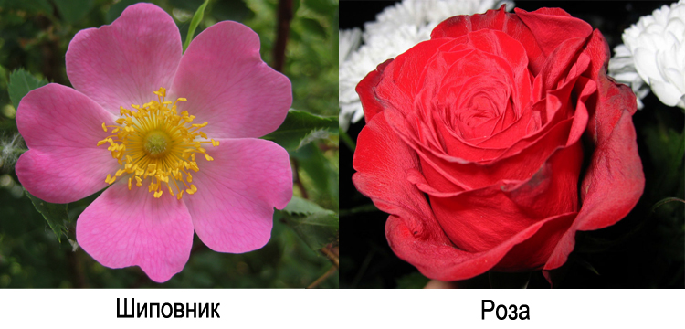 Цветки розы и шиповника