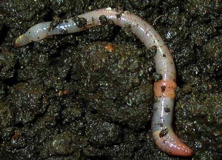 Белый земляной червь