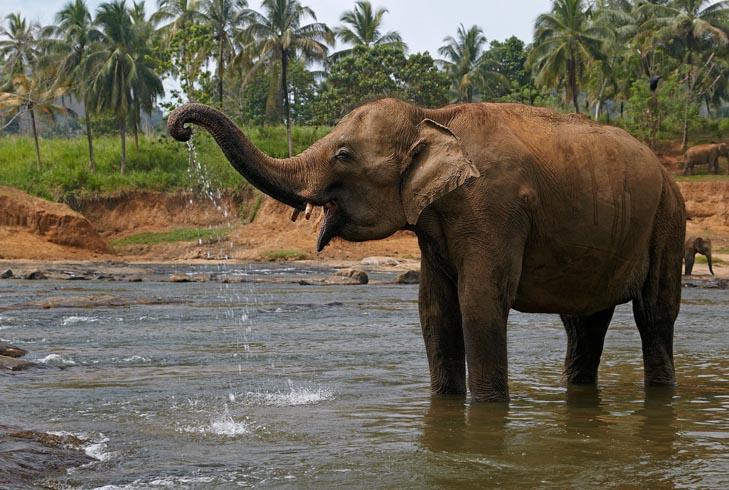 Азиатский слон в среде обитания