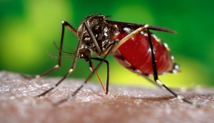 Комар сосет кровь