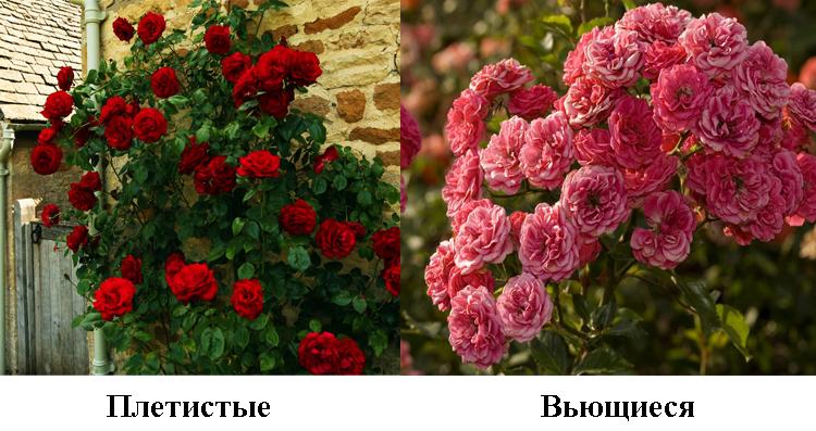 Отличия роз