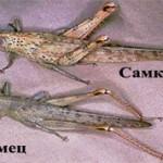 Чем самки саранчи отличаются от самцов