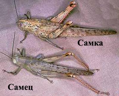 Самец и самка саранчи