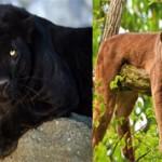 Чем отличается пума от пантеры: описание и отличия