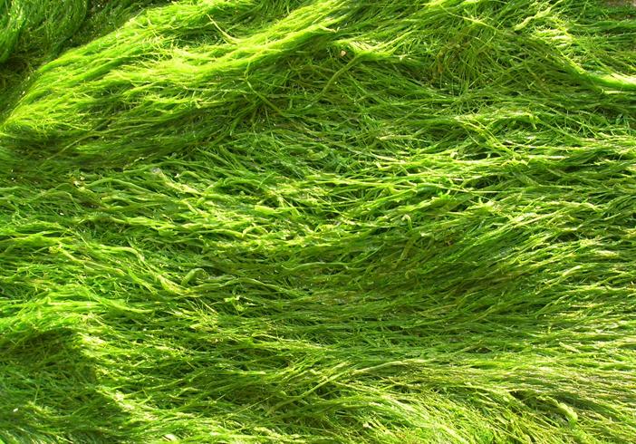 Много водорослей