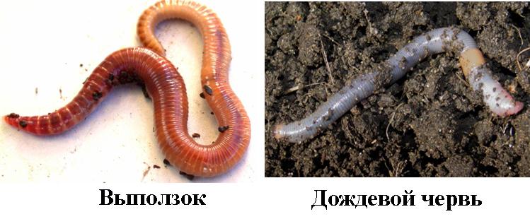 Выползок и дождевой червь