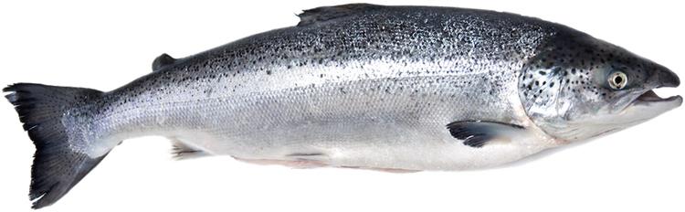 Атлантический лосось