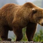 Чем гризли отличается от бурого медведя?