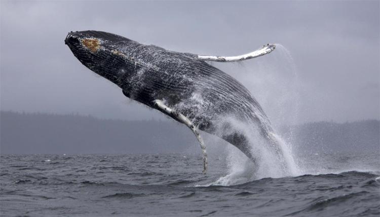 Синий кит плескается