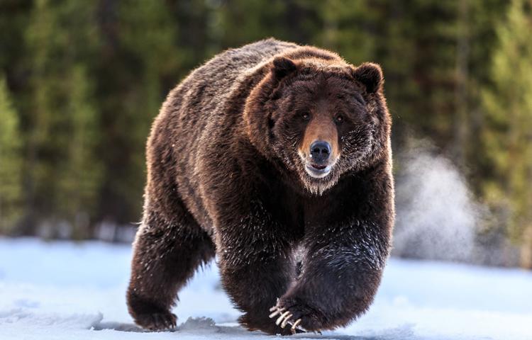 медведь гризли фото