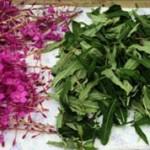 Кипрей и Иван чай — чем они отличаются
