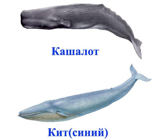 Кашалот и кит