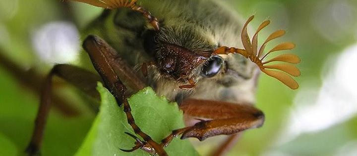 Майский жук кушает