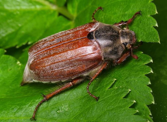 июньский фото майский жук и жук