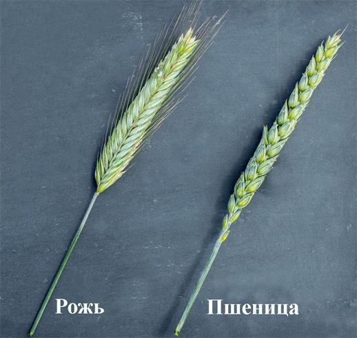 Пшеница и рожь фото колос пшеница