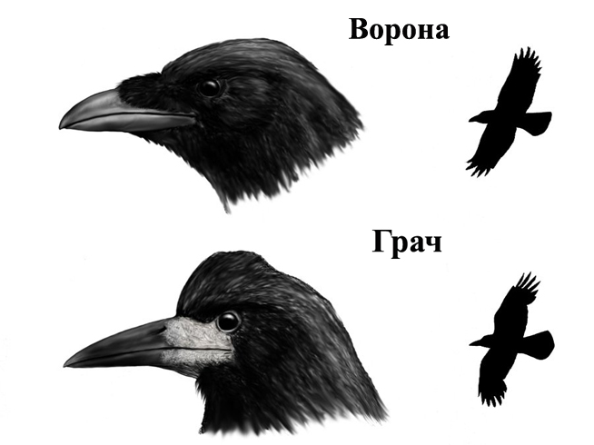 Ворона и грач