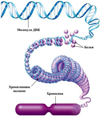 Хромосома и хроматин