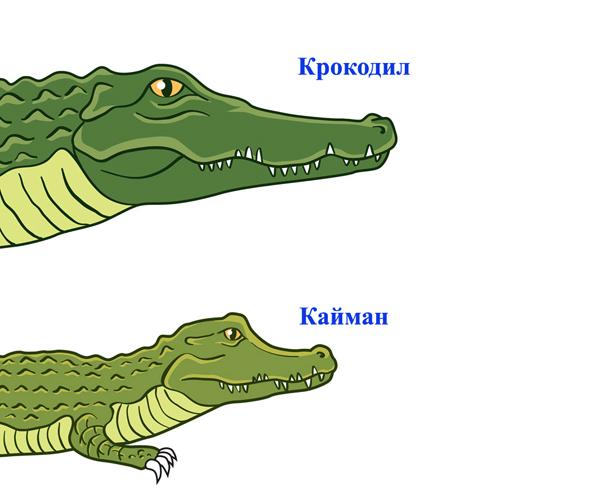 Крокодил и кайман