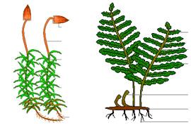 Цикл размножения папоротников 12