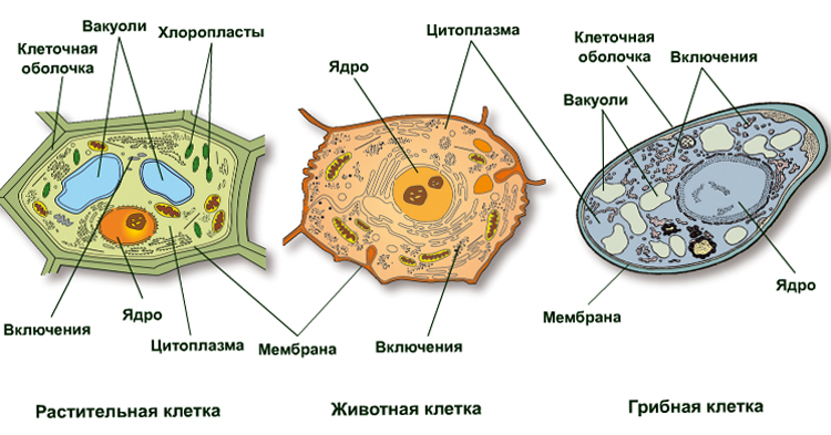 В чем разница между грибами и растениями- --