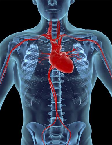 Сердце с кровеносными сосудами